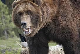 Russian wild bear