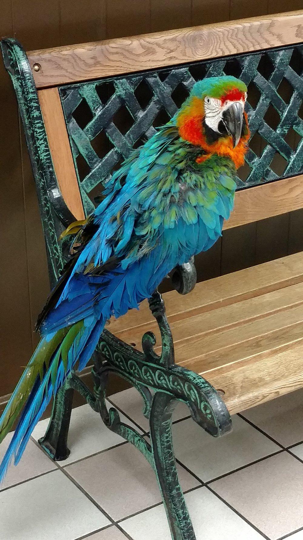 Parrot Blue.jpg