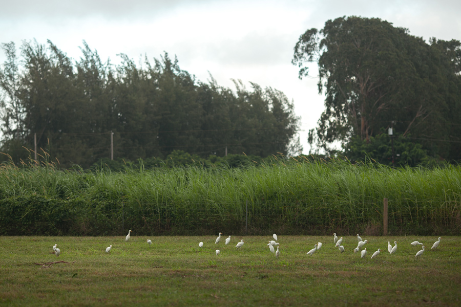 Sweet Kauai Wedding Egrets