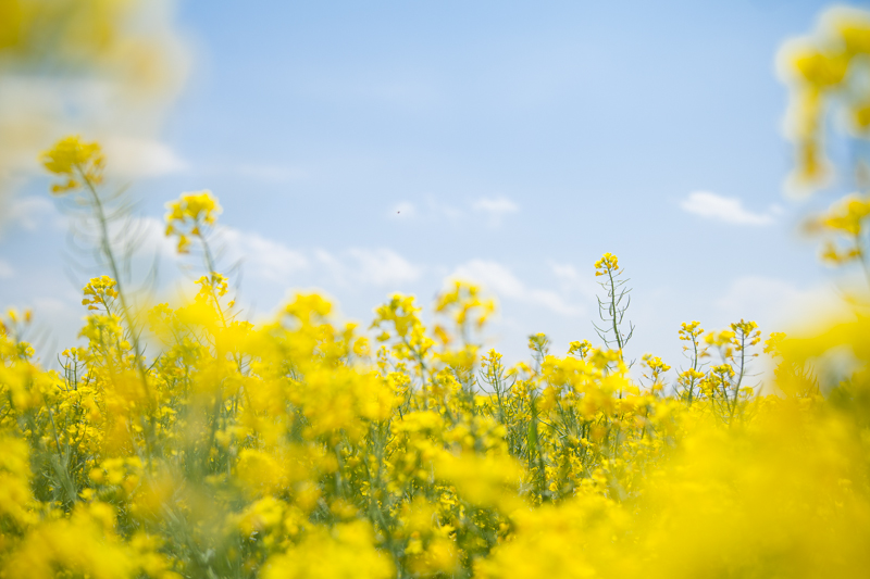 HAILEYKING PHOTOGRAPHY | Oklahoma Canola Fields