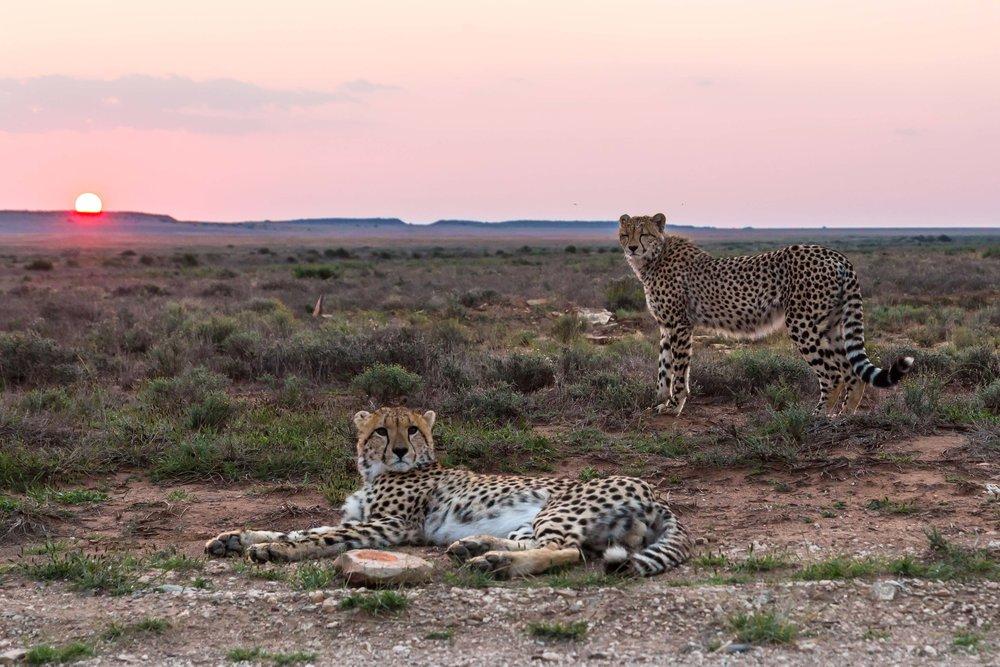 cheetahs-free-state-1.jpg
