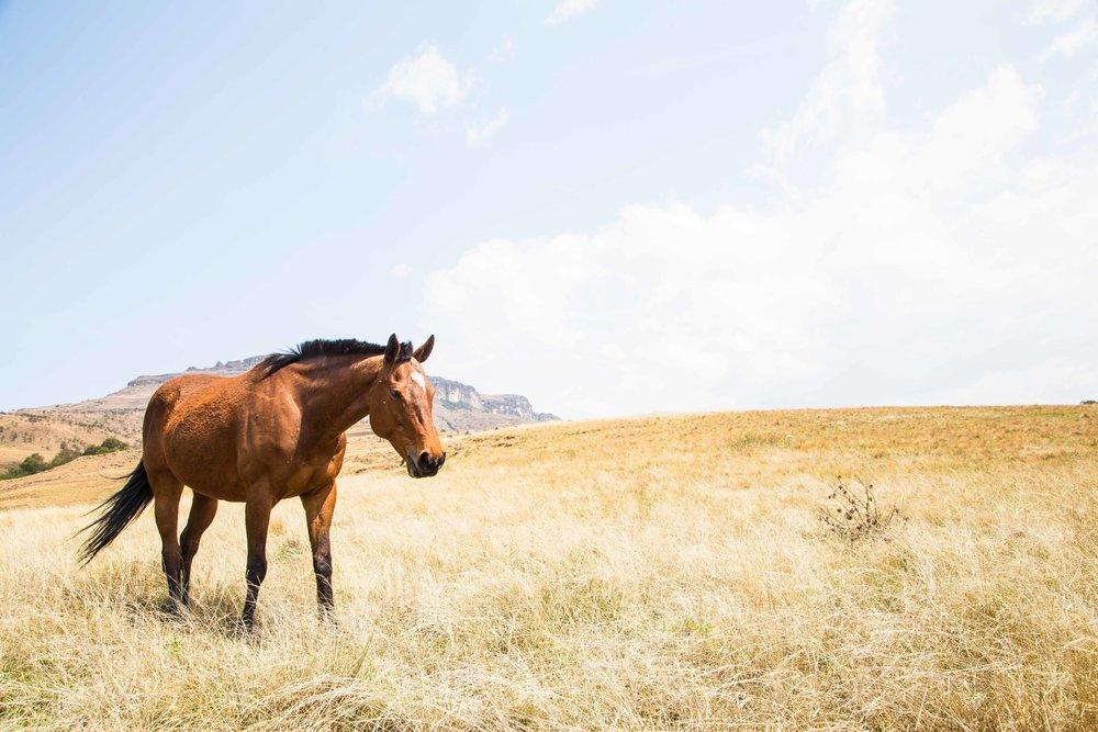 horse-drakensberg-kzn-tyson-jopson-1.jpg