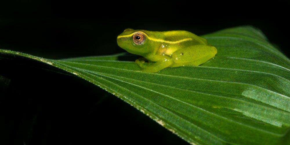 tinker-reed-frog-umtumvuna-nature-reserve-tyson-jopson-1.jpg
