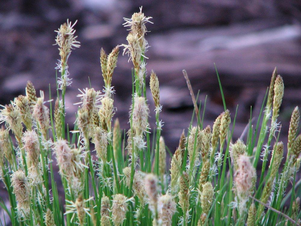 Penn Sedge Blooms.jpg