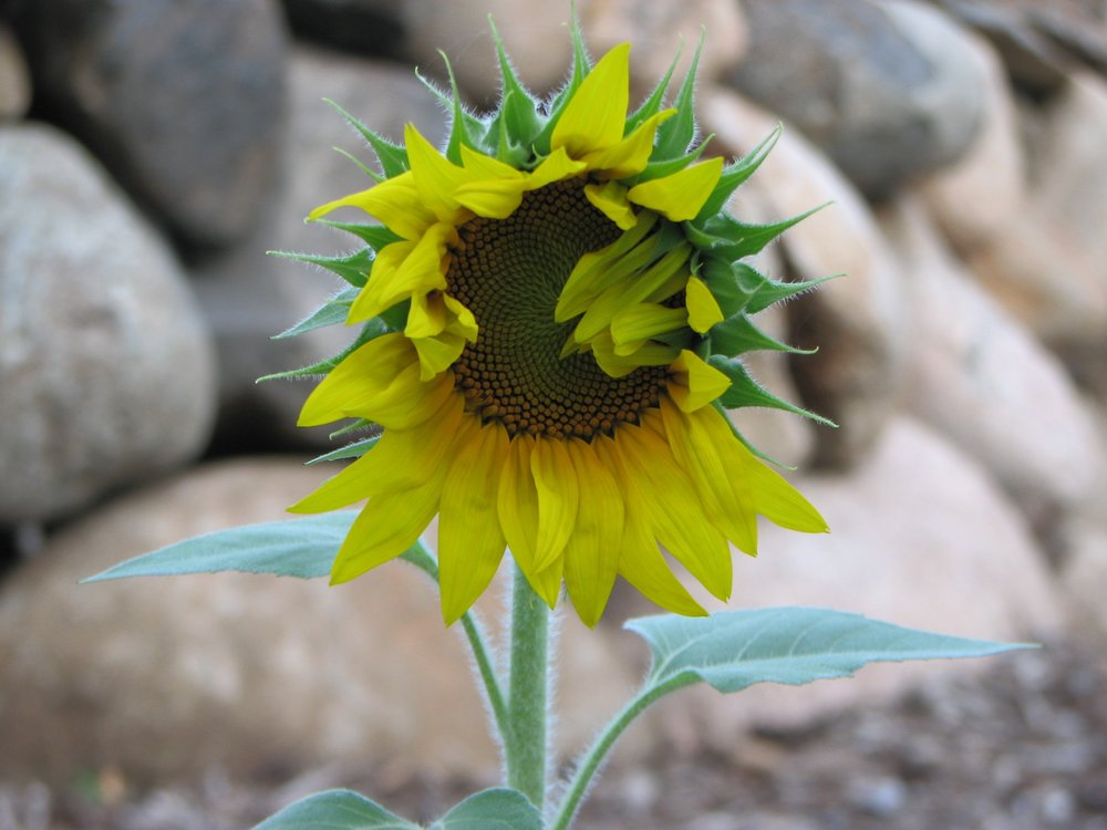 Single Sunflower.jpg