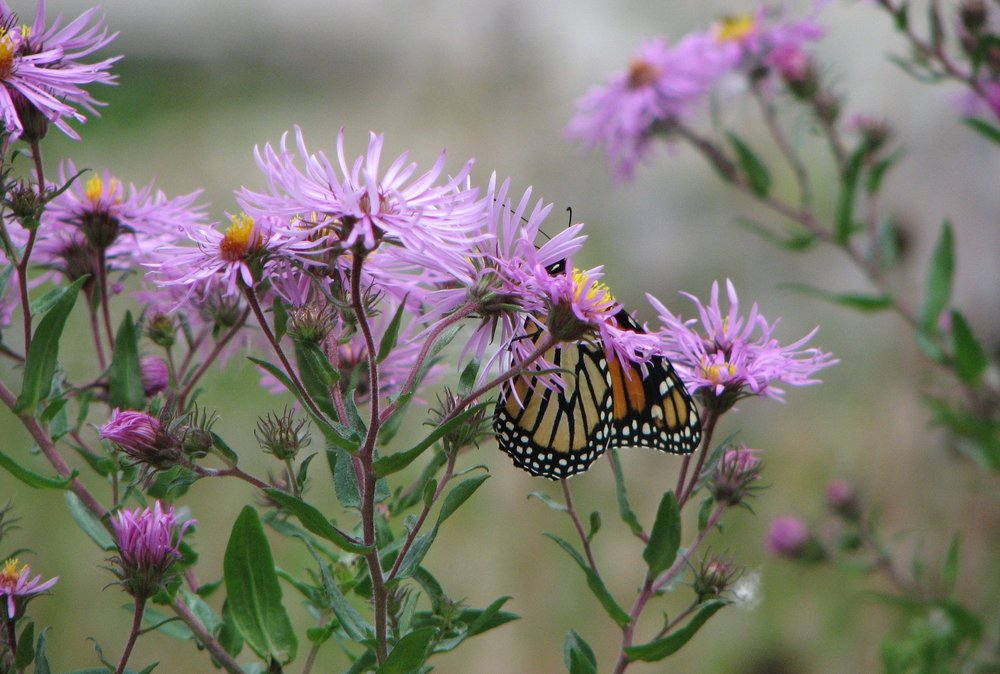 Monarch on Asters.jpg