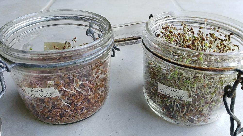 graines germées en comparatif.jpg
