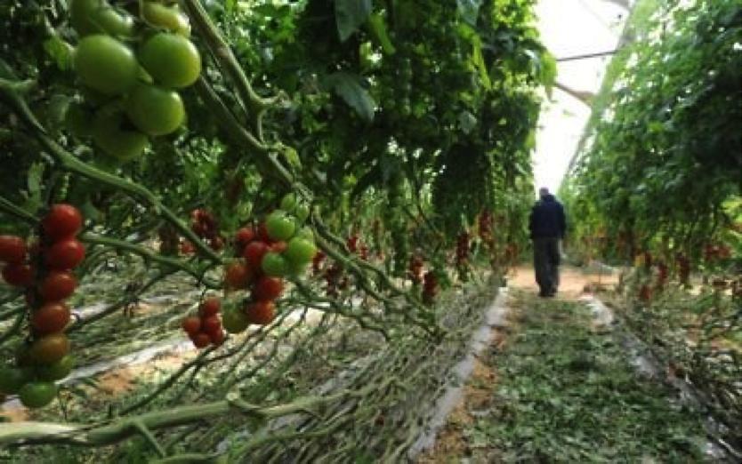 Un agriculteur de Kadesh Barnea, à l'ouest du Néguev, inspectant ses récoltes de tomates cerises. Illustration. (Crédit :Gili Yaari/Flash90)