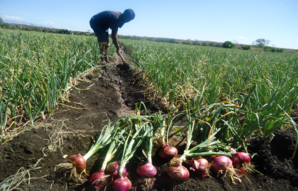 onions harvested as cash crop