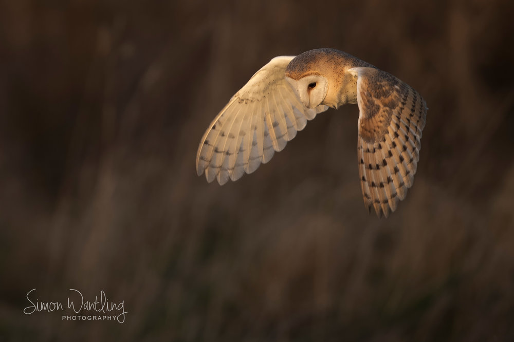 Barn Owl late light - Front Cover.jpg