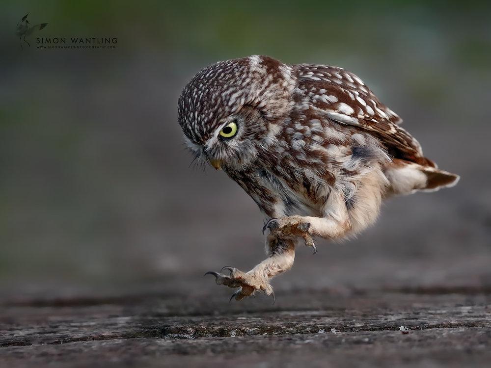 Little Owl 8 - 11th June 17 web.jpg