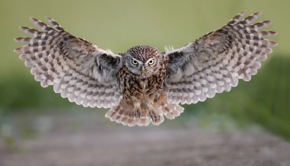 Simon Wantling - Little Owl Head on Flight.jpg