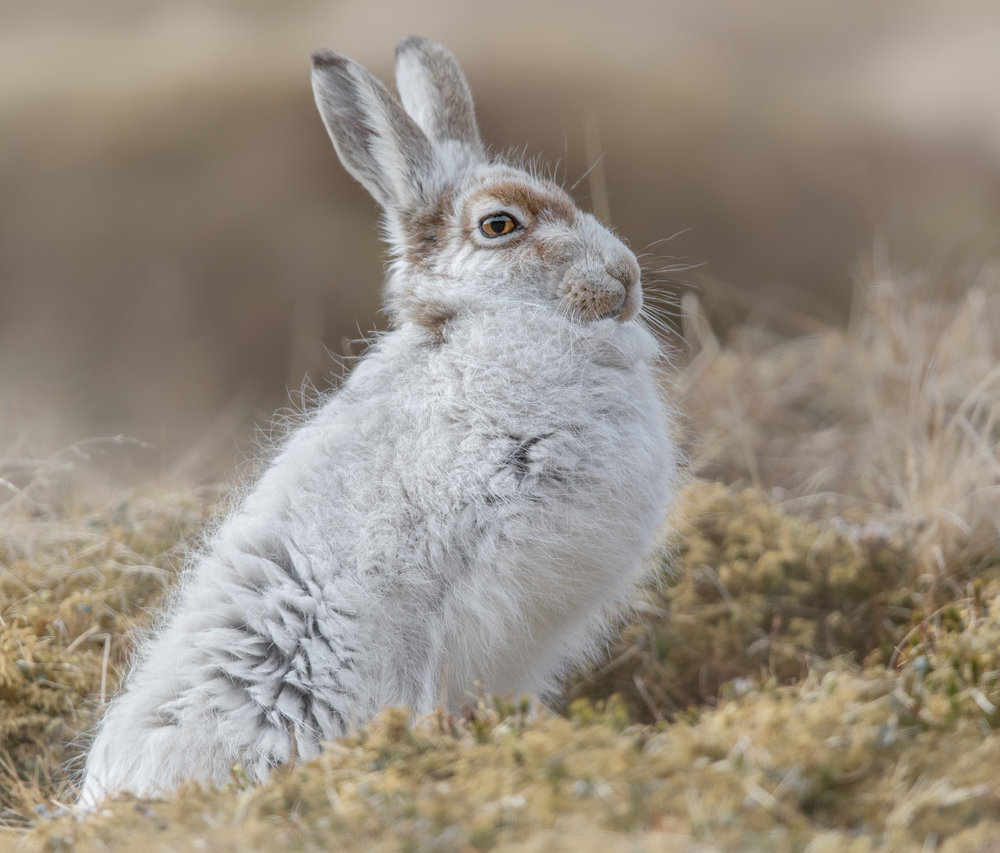 Mountain Hare Standing Proud website.jpg