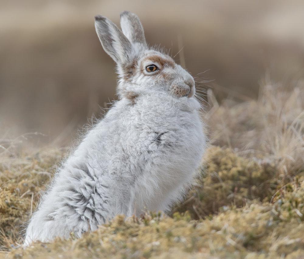 Mountain Hare Standing Proud website.jpg