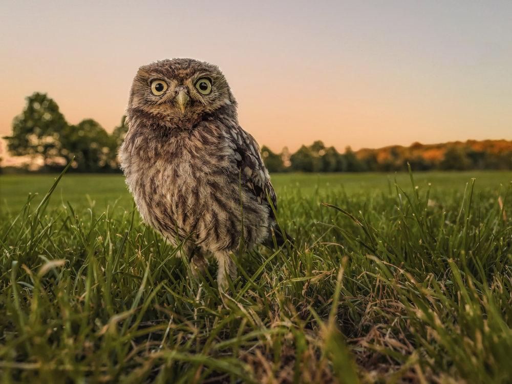 Owlet wideangle sunset.jpg