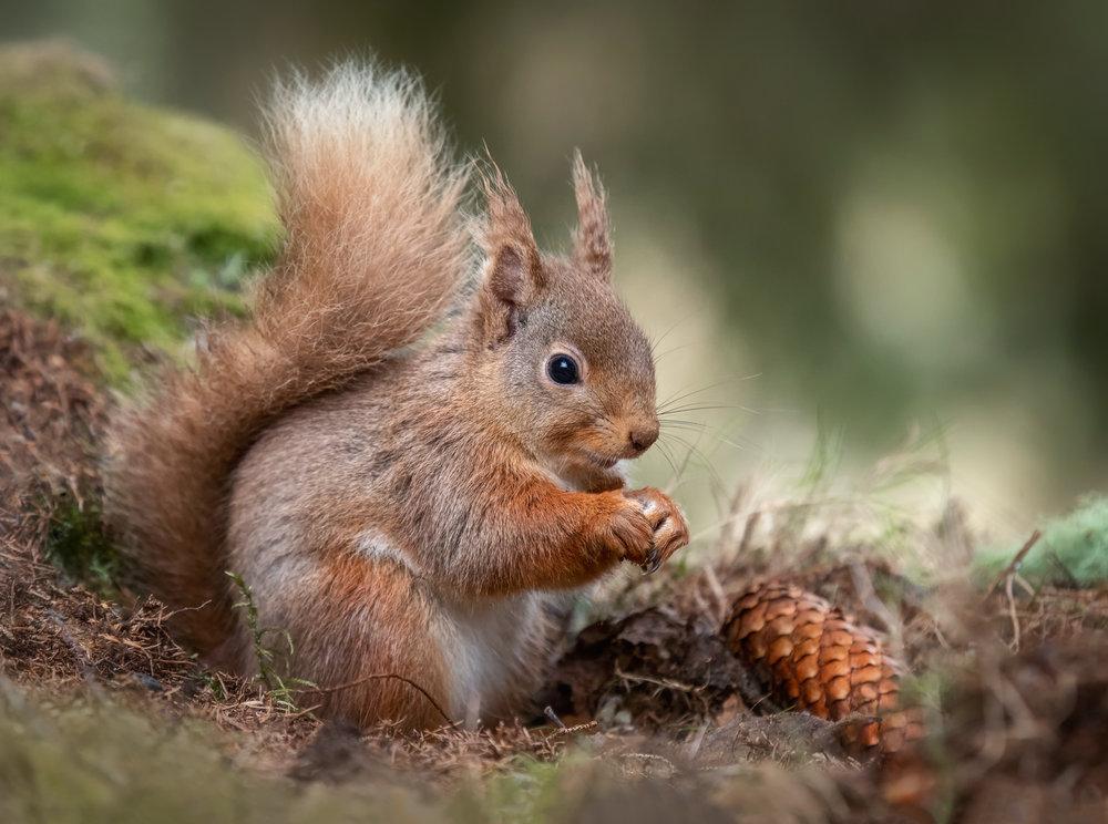 Red Squirrel print.jpg