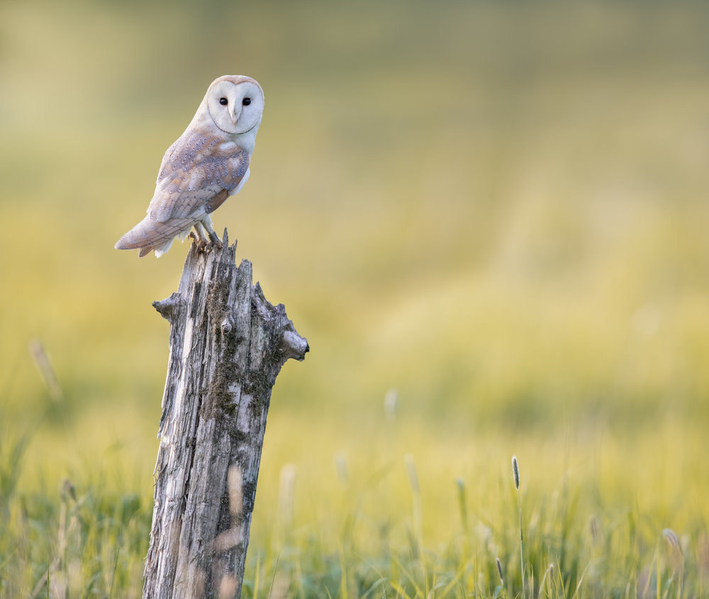 Barn Owl 2 - 2018-05-13-2.jpg