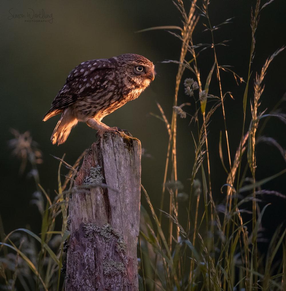 Little Owl at Sunset - 10th June 18-Edit.jpg