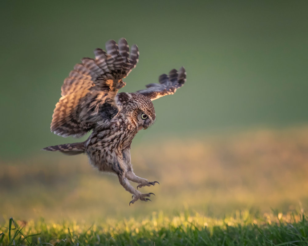 Little Owl Landing.jpg