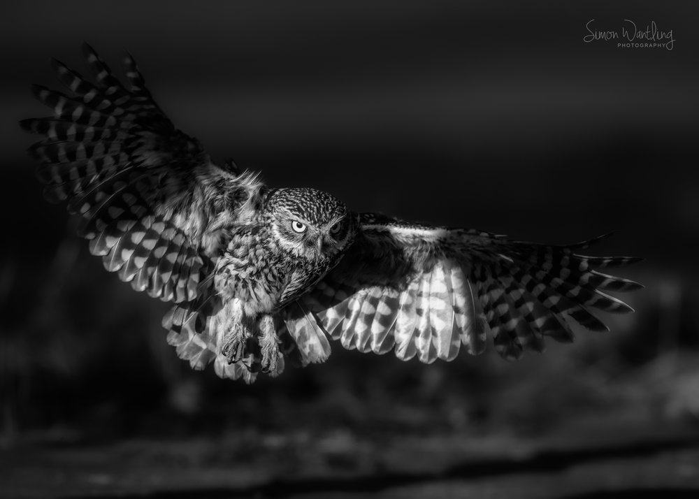 Little Owl B&W.jpg