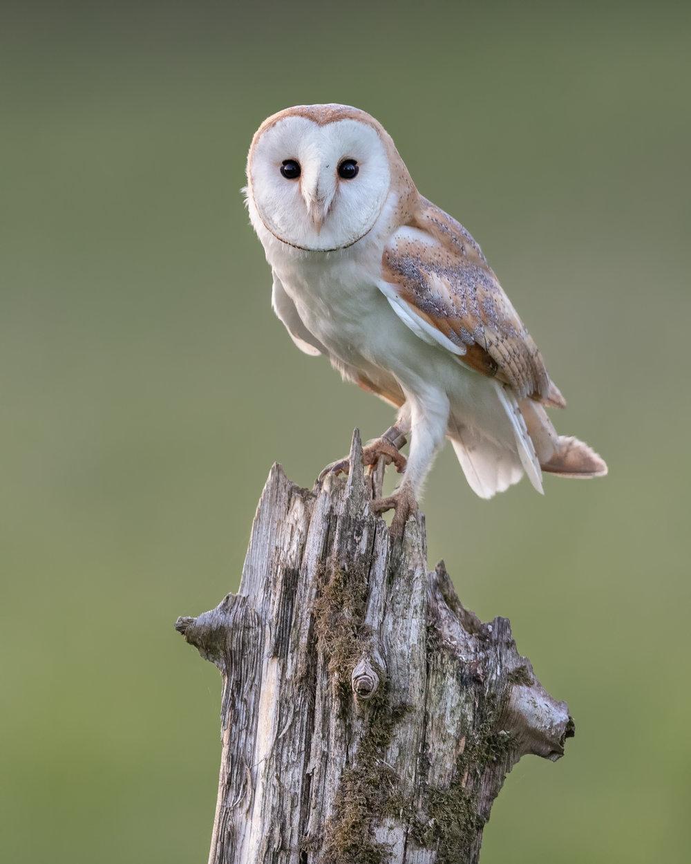 Barn Owl - Intense Stare 14 x 10.jpg