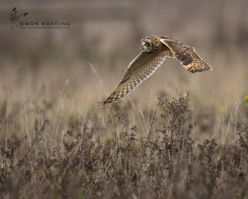 Short eared Owl 4th Nov 16.jpg