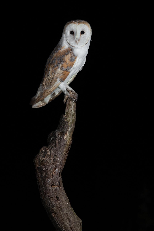 Barn Owl stare