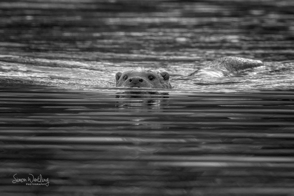 Otter Black and White website.jpg