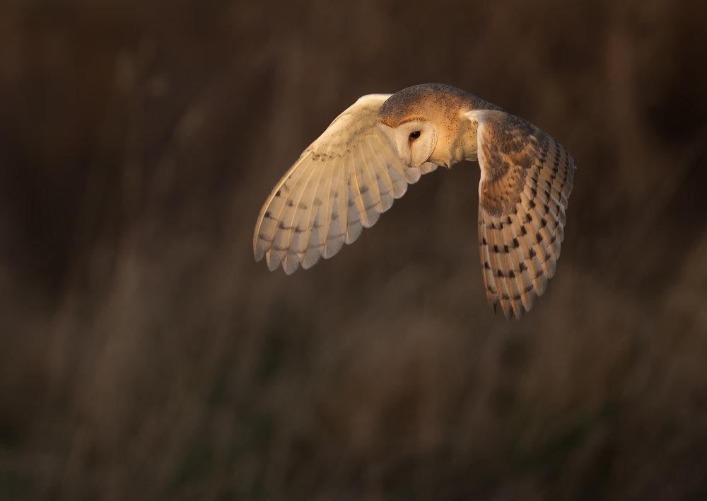 Barn Owl late light - 9th Feb 18 A4 Print.jpg