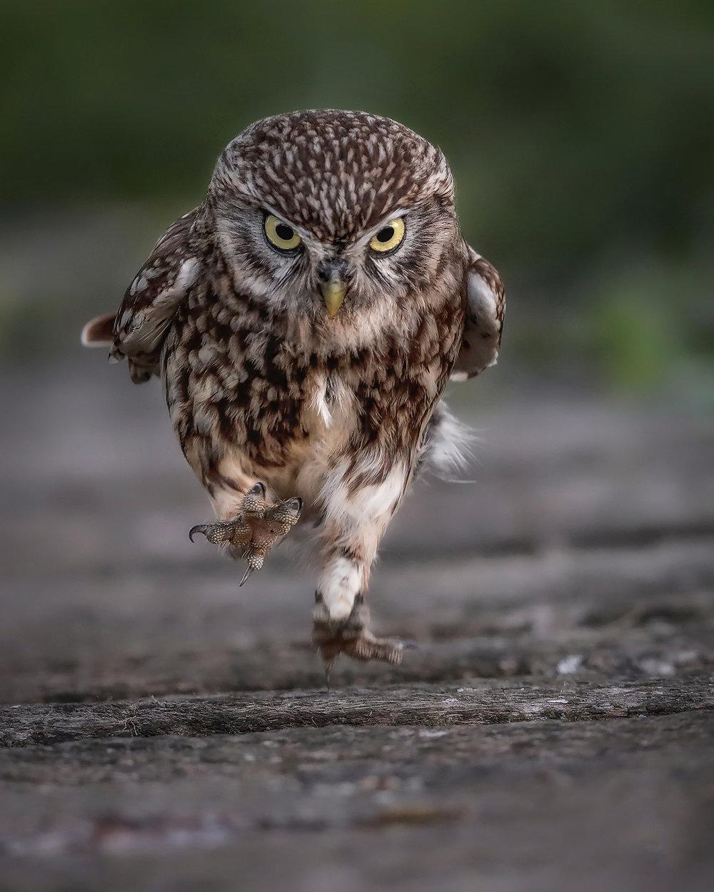 Running Little Owl - Simon Wantling Print File.jpg