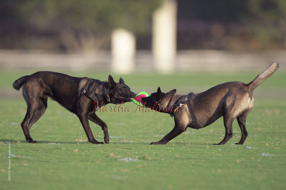 Malinois: athletic, playful and strong.