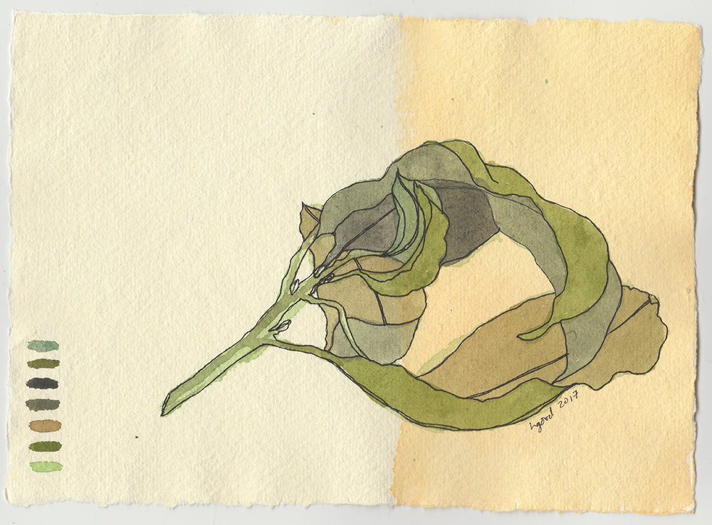 "Curled Bay Leaves watercolour and pen on paper 6x8"" $45"