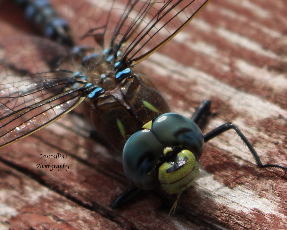 Close up dragonfly.png
