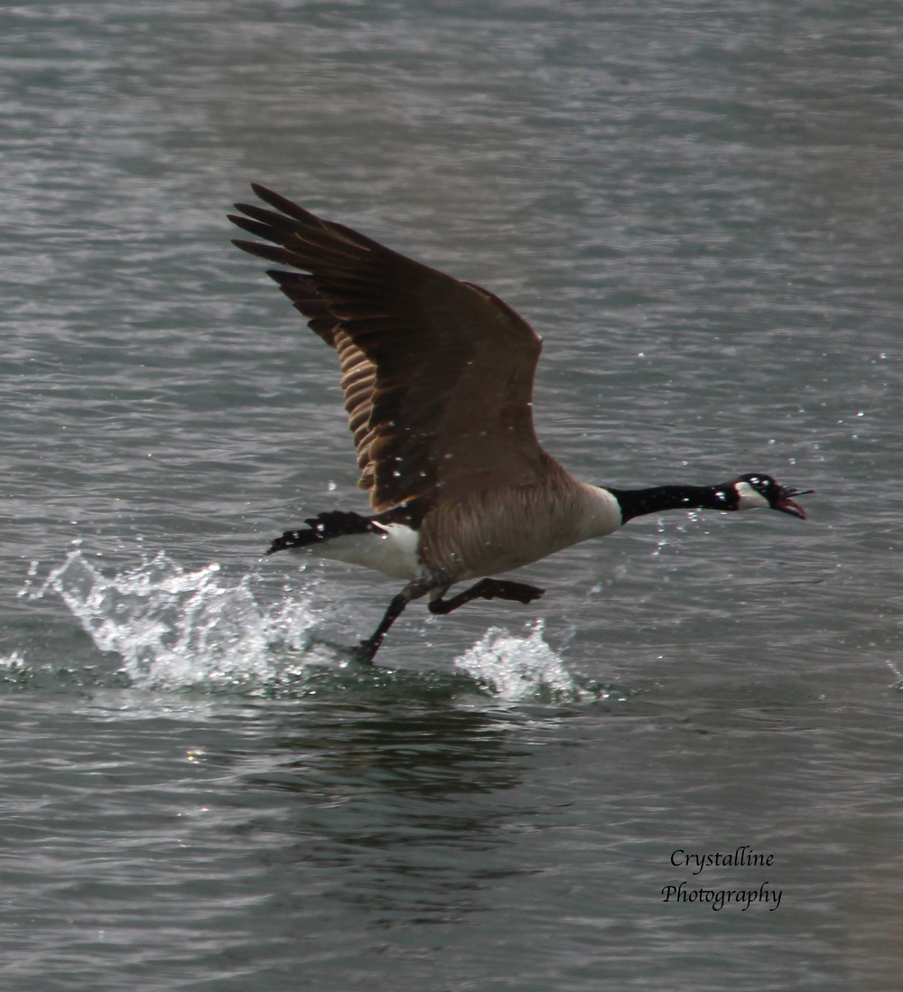 Goose running on water.png