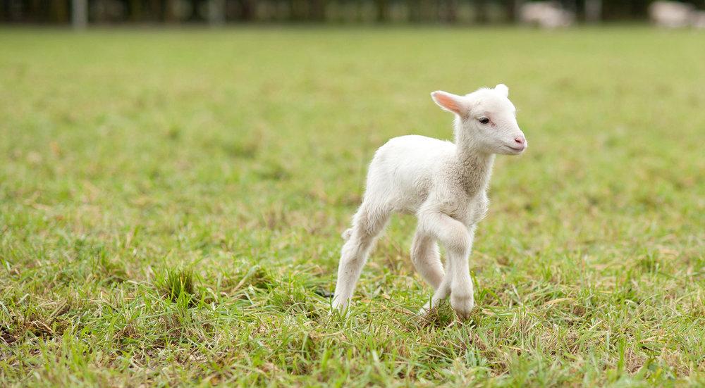 ZQ Merino Lambs 02.jpg