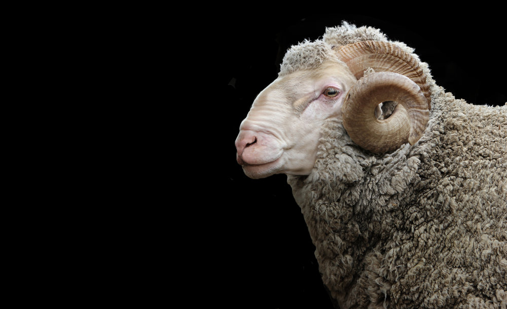 Merino Ram On Black.jpg