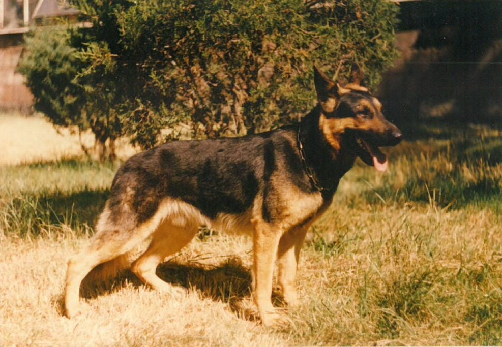 Yuron, one of the first search and rescue dogs in Armenia.