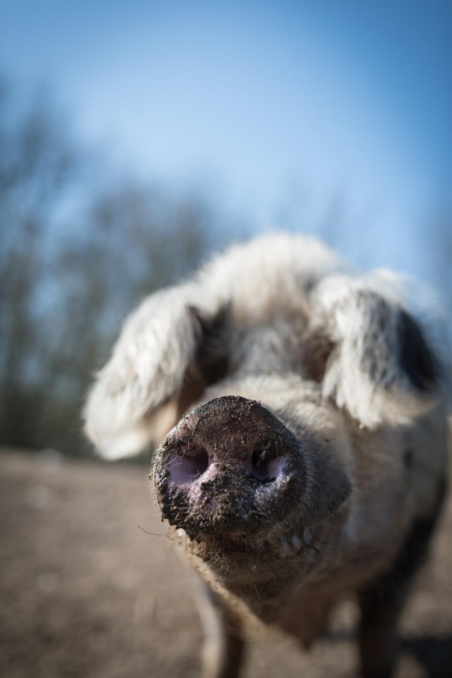 Auch Schweine können grinsen (Copyright:Axel Martens)
