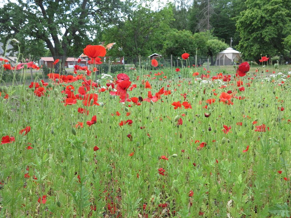 Blühende Blumenwiesen, rote Holzhäuser und ganz viel Kultur und Natur auf Visingsö
