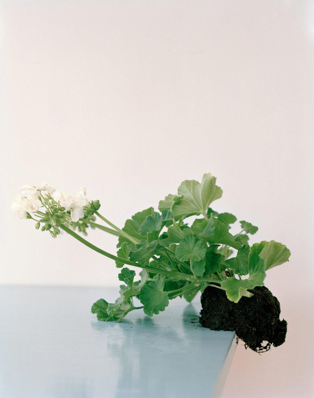 Restricted Flora #6 (C-print)  © Ingrid Eggen
