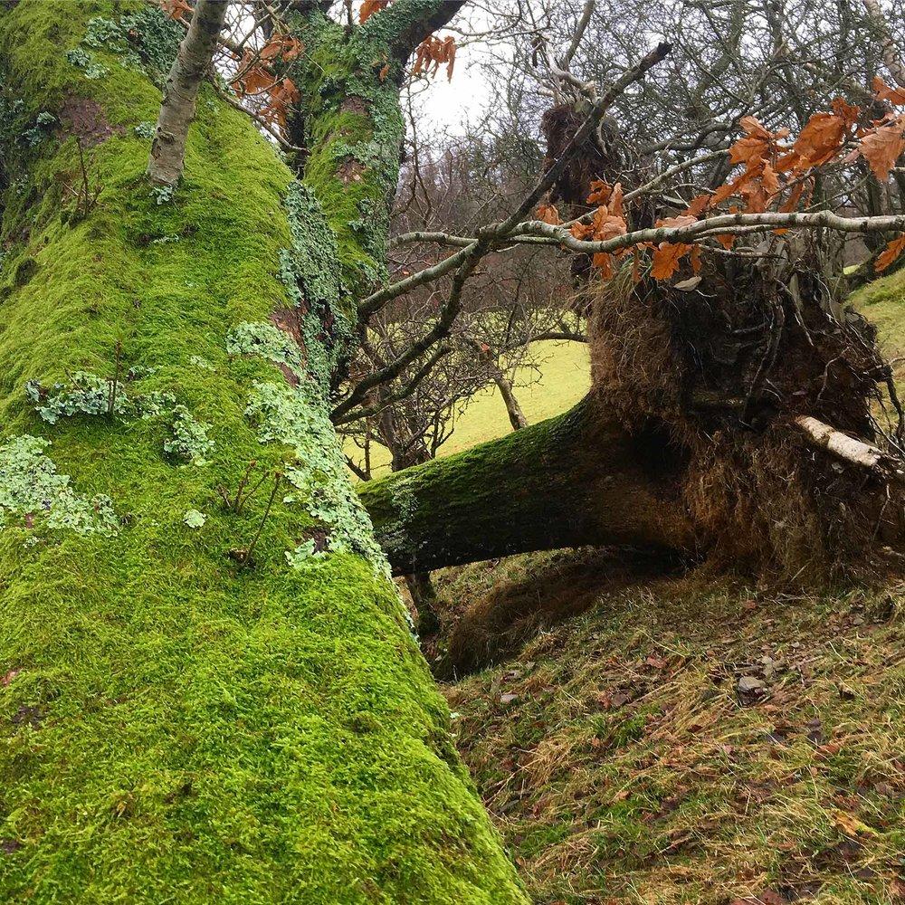 Horizontal oaks