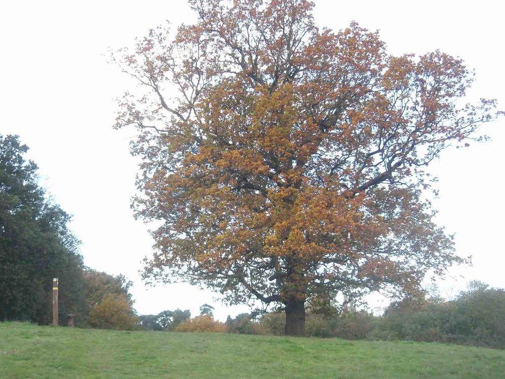 Oak in autumn, Cumborrow