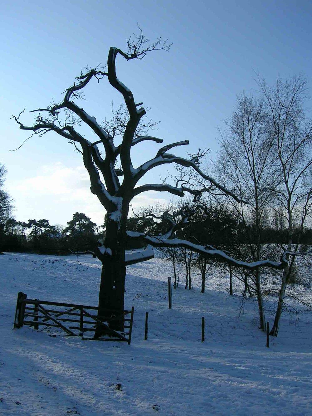 Oak in winter, Mouse Croft