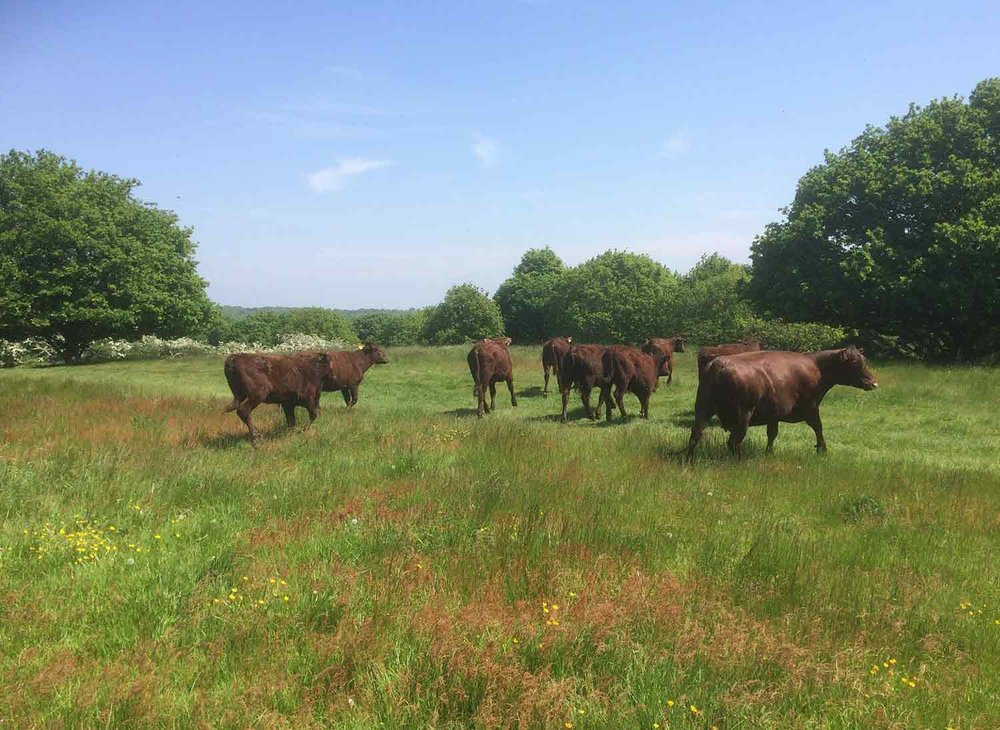 Red Poll Cattle at Mill Meadows