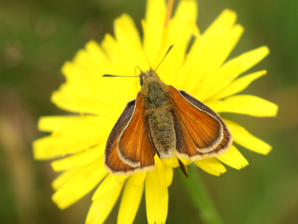 Skipper butterfly on catsear