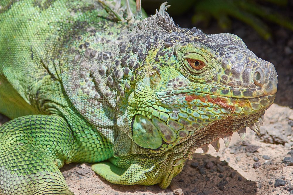 iguana-2821086_1920.jpg