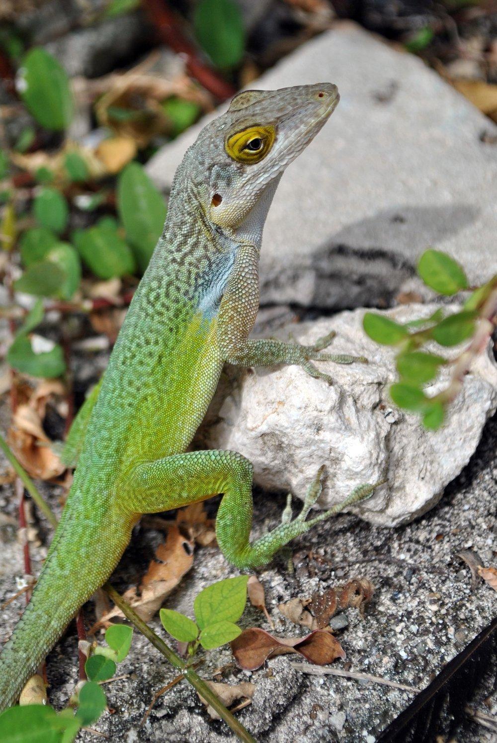 lizard-2011385_1920.jpg