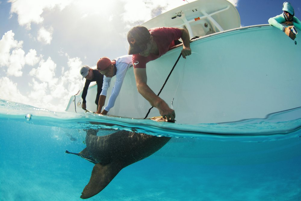 Guests Carlos and Ethan help Tristan secure the nurse shark