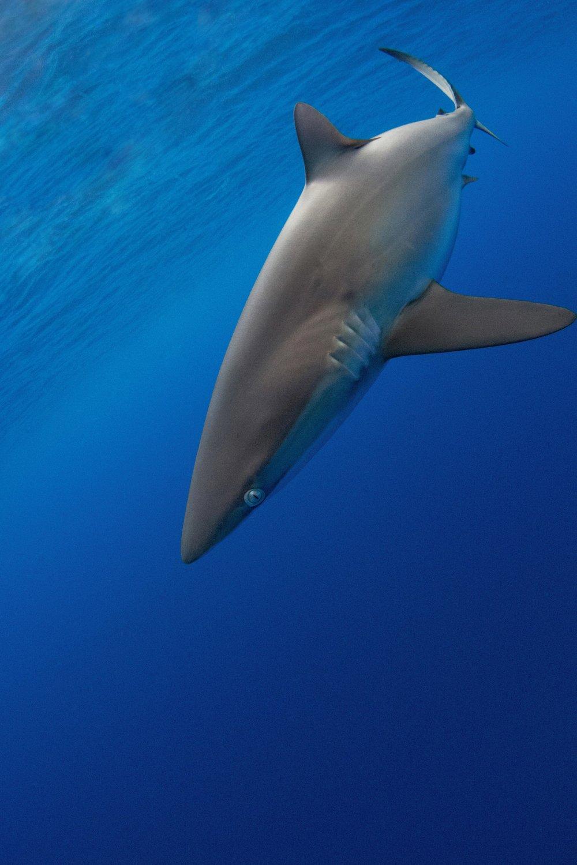 A beautiful Silky shark