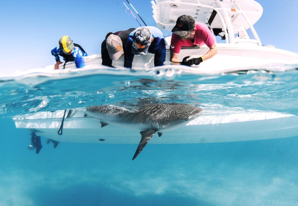 Guest Jenna takes a tissue sample from a reef shark